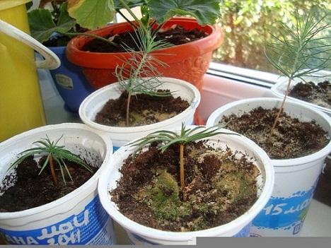 Как вырастить кедр из семян в домашних условиях отзывы